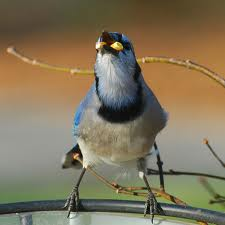 blue jay mouth full