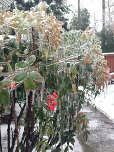 ice covered holly