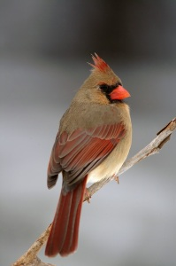 cardinal-Female-Tony-Campbell
