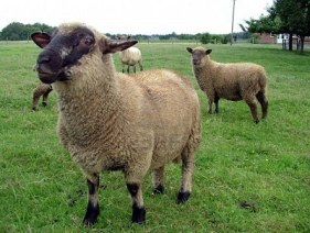 1829564-a-group-of-curious-sheep-needing-to-be-shorn