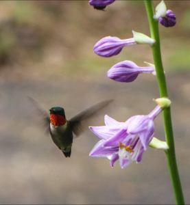 humingbird Brade Fuller