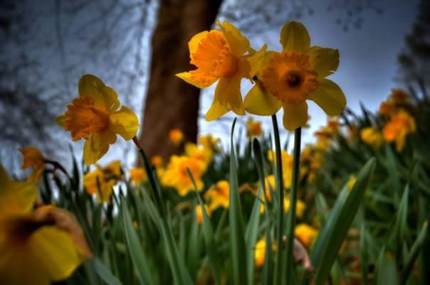 daffodils Mike Halloran