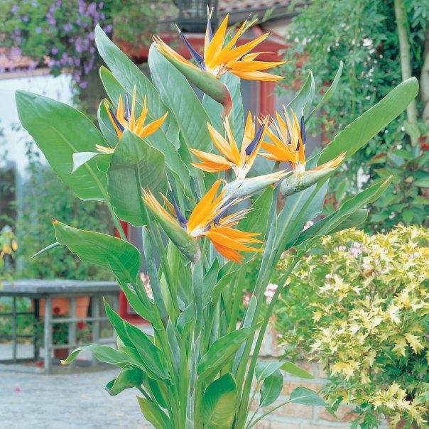 bird-of-paradise-blooming